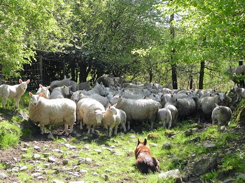 North Country Cheviot Sheep at Bryn Melyn Farm
