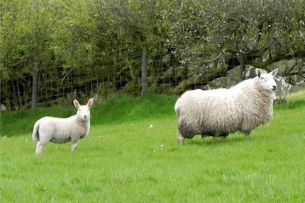 Ewes & Lambs 2012 4_430