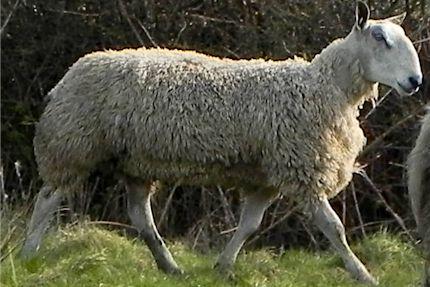Rams002